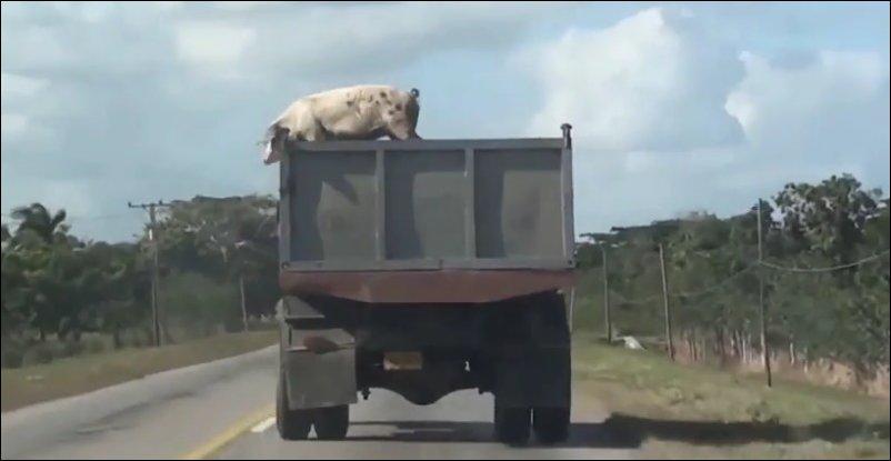 Свинья выпрыгнула из кузова грузовика