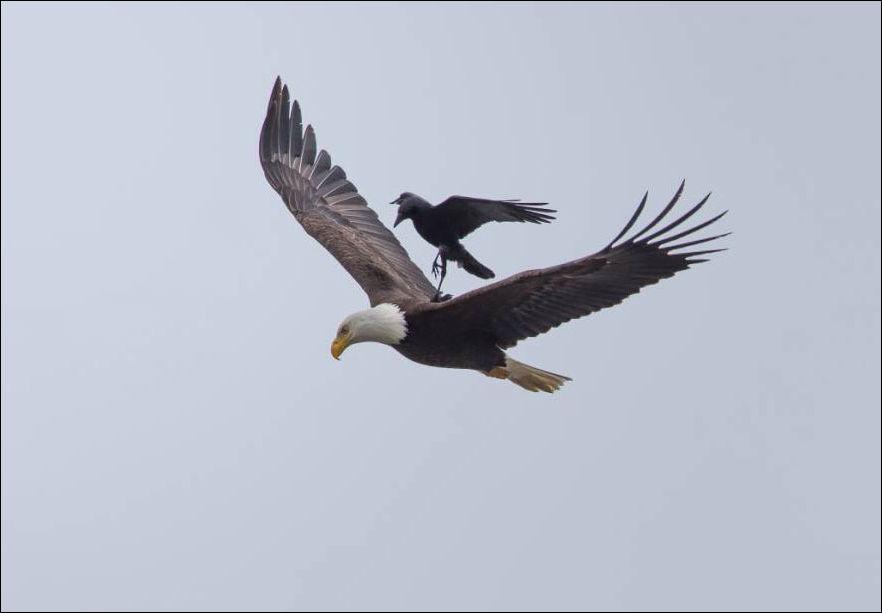 Ворона села на орла