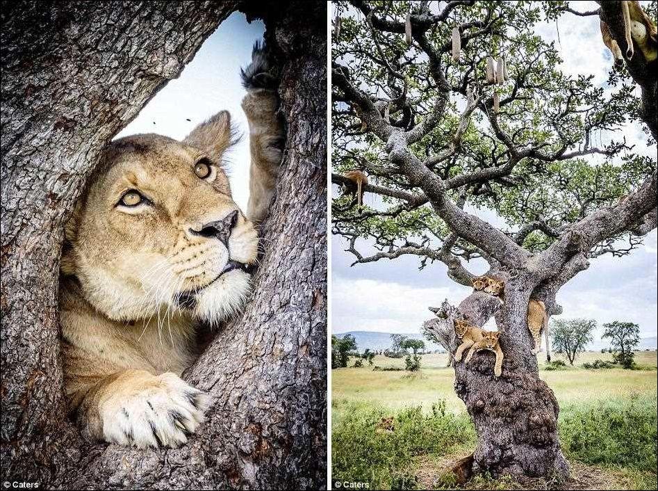 Львы на дереве