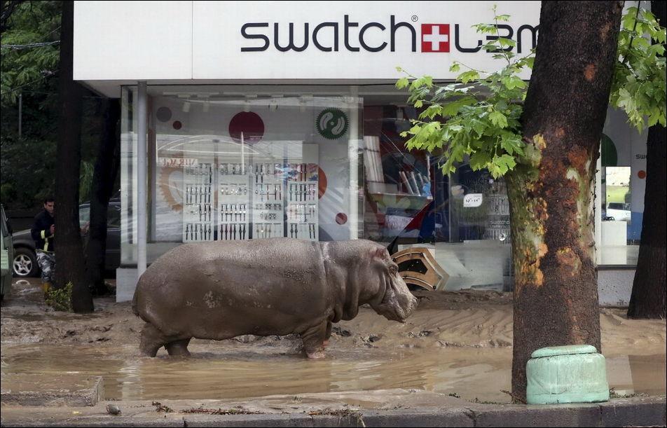 Животные из зоопарка на улицах Тбилиси