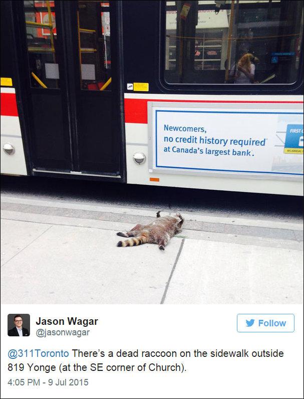 Мертвый енот в Торонто