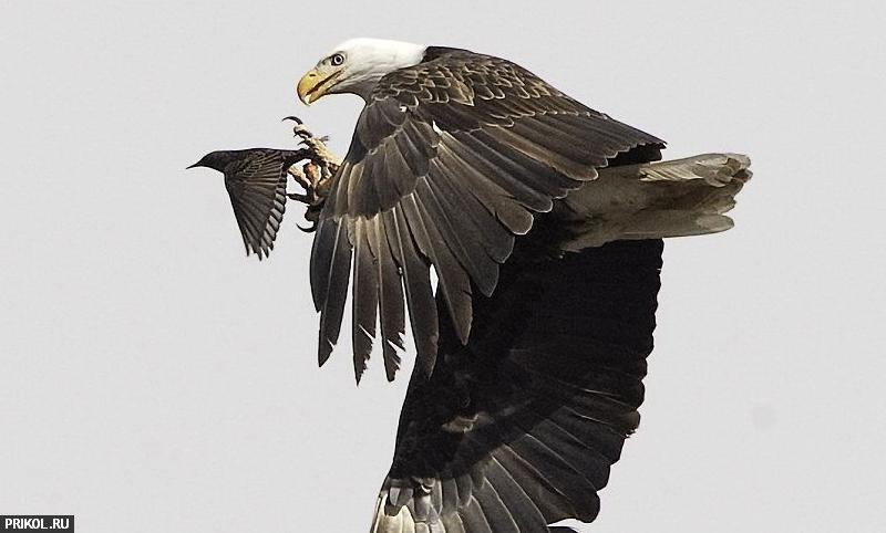 eagle-hunt-01