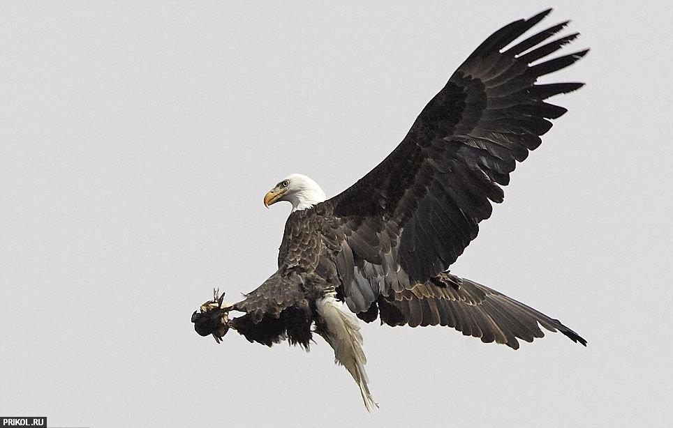 eagle-hunt-05