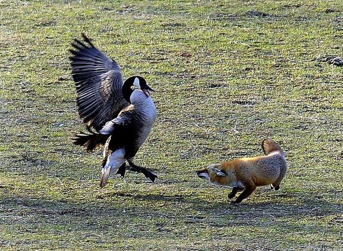 geese-vs-fox-01