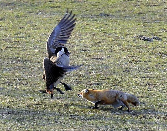 geese-vs-fox-02