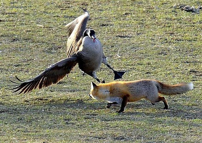 geese-vs-fox-03