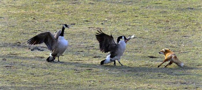 geese-vs-fox-04