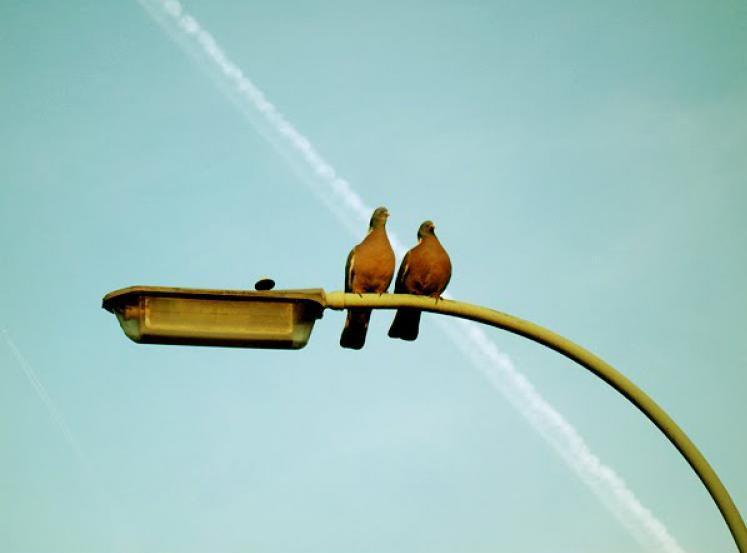 pigeons-01