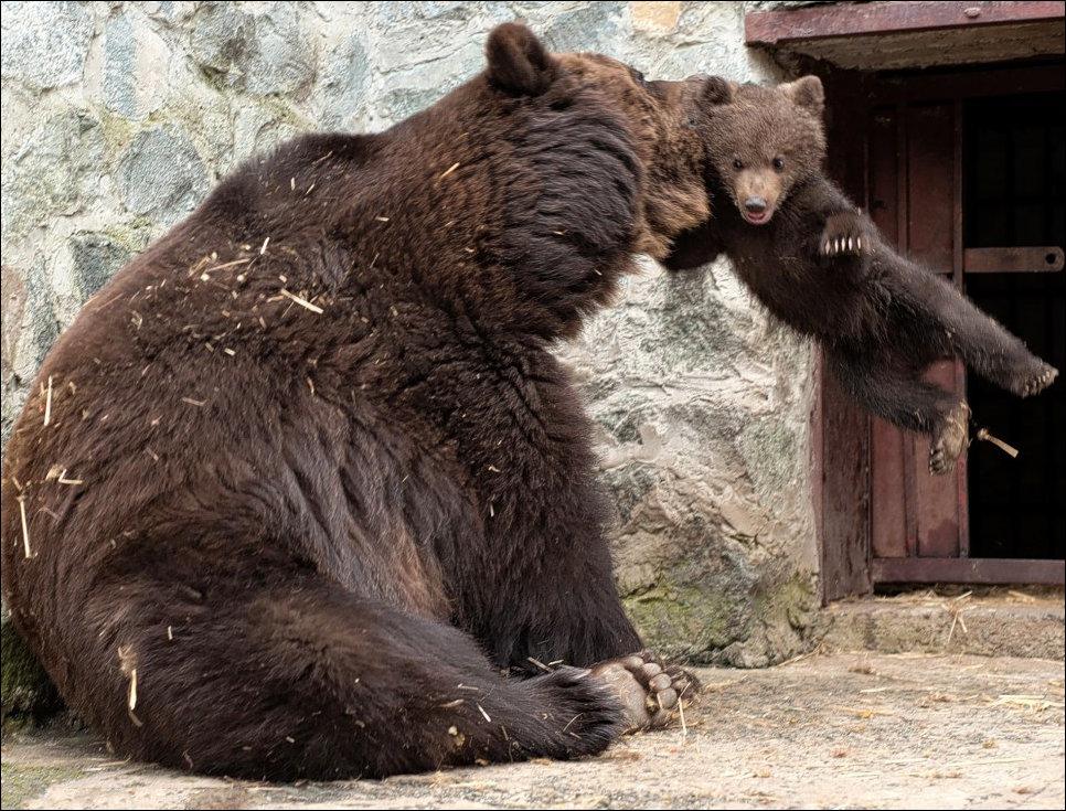 Медведица воспитывает медвежонка