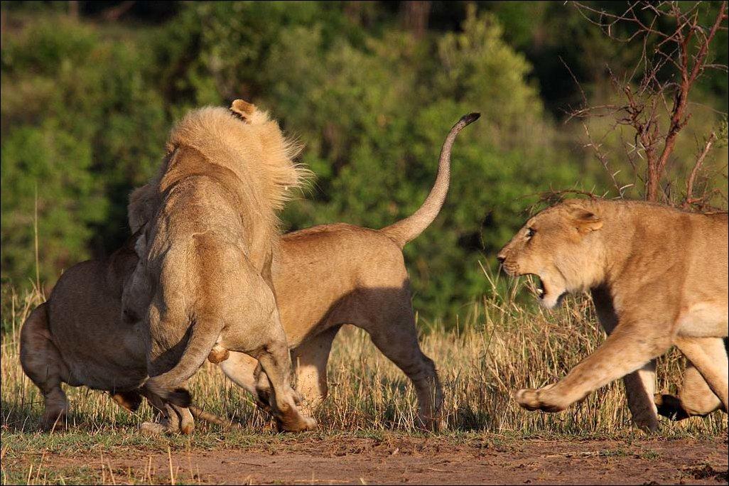 Львиные разборки