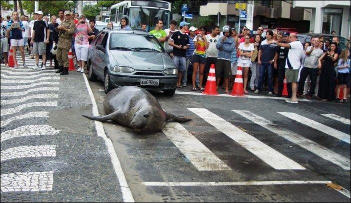 Прогулка морского льва по городу