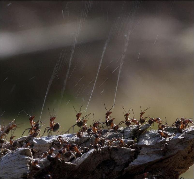 Муравьи стреляют кислотой в воздух