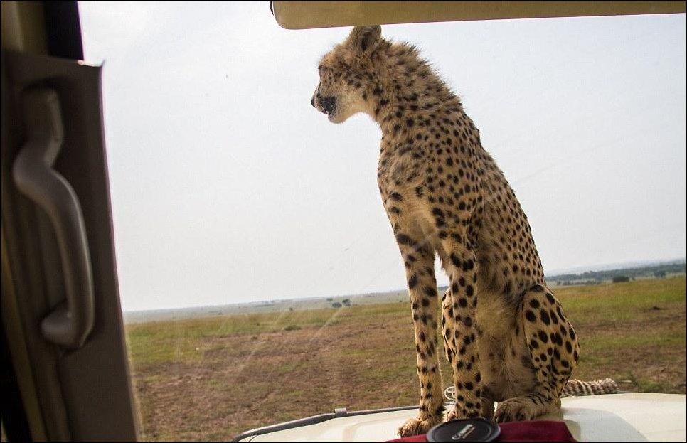 Любопытный гепард