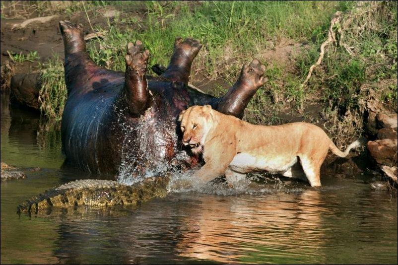 Львица против крокодилов