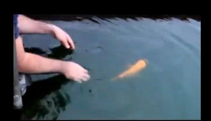 Ручная рыбка