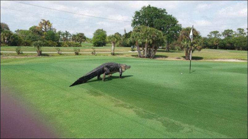 Аллигатор пришел поиграть в гольф