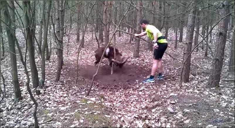 Баран в лесу зацепился за дерево