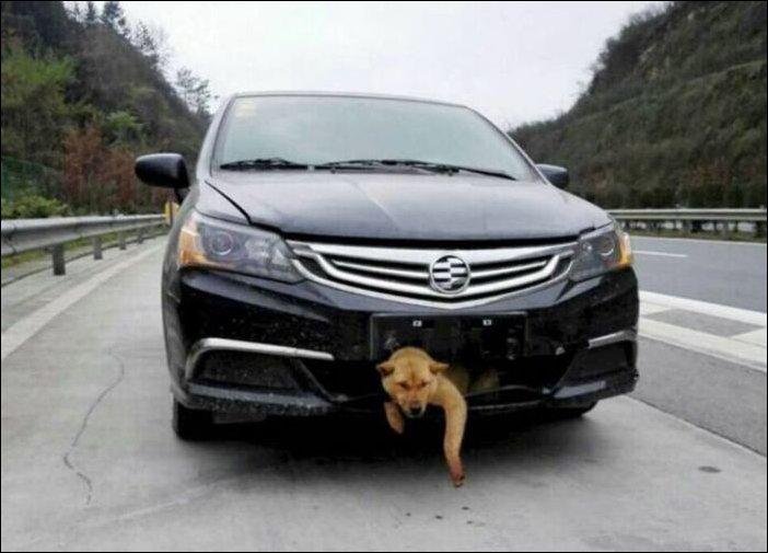 Собака застряла в бампере