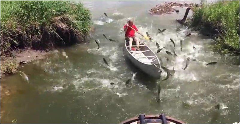 Карпы запрыгивают в лодку