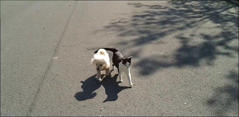 Кот выгуливает слепого пуделя