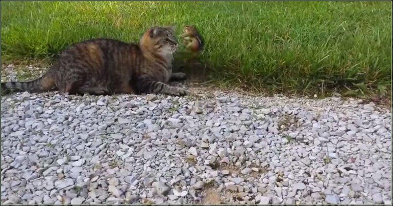 Бурундук против кота