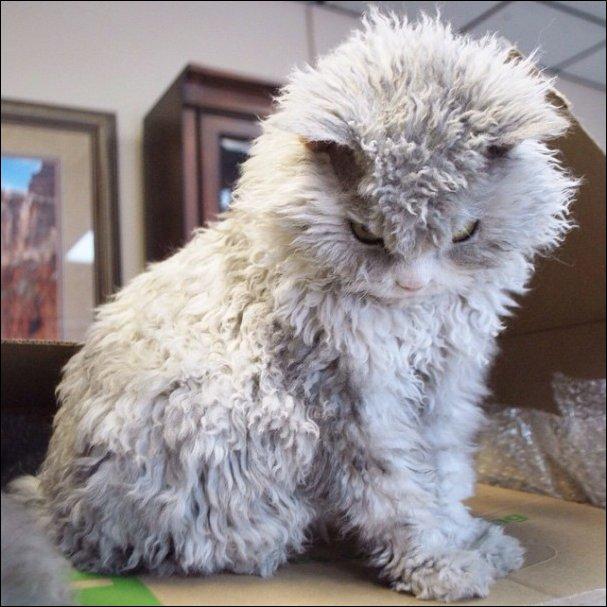 Кудрявый кот