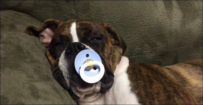 Собака с соской