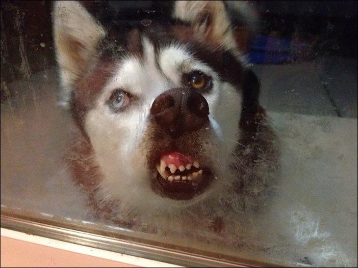 Животные лижут стекло