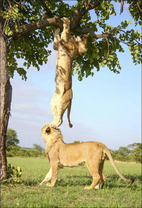 Лев который не смог