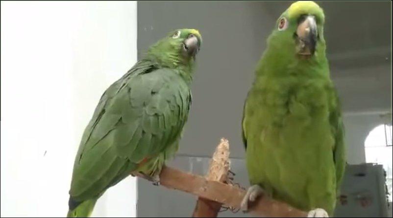 Попугаи поют дуэтом
