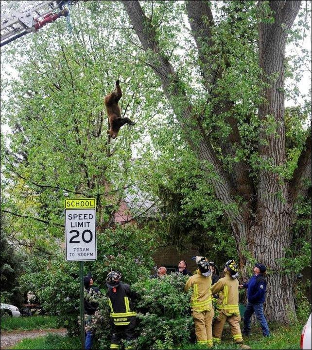 Медведь упал с дерева