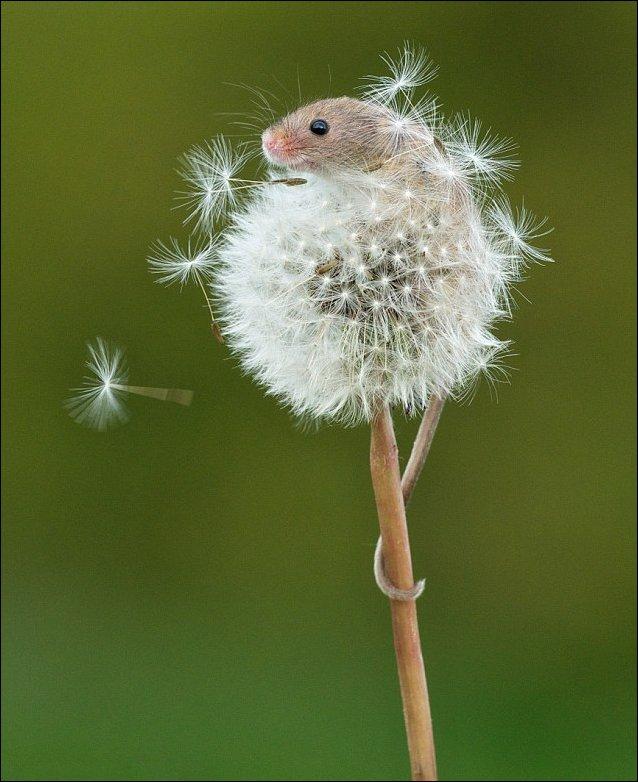Полевая мышь на одуванчике