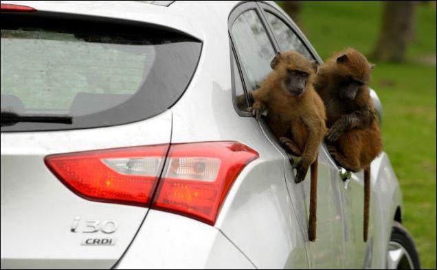 Бабуины тестируют Хундай
