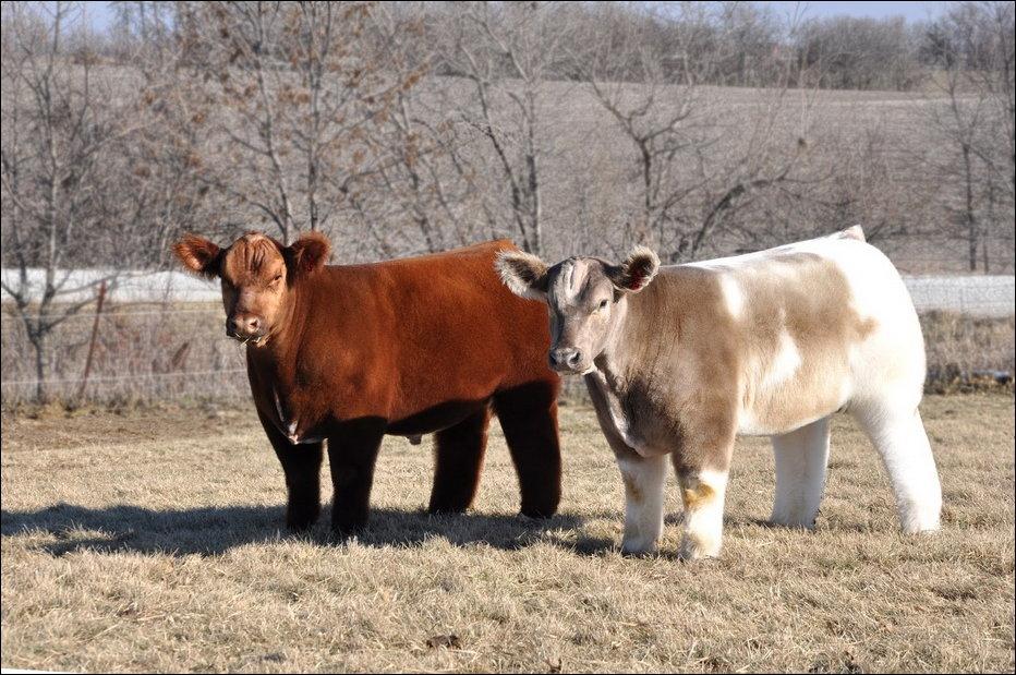Плюшевые коровы