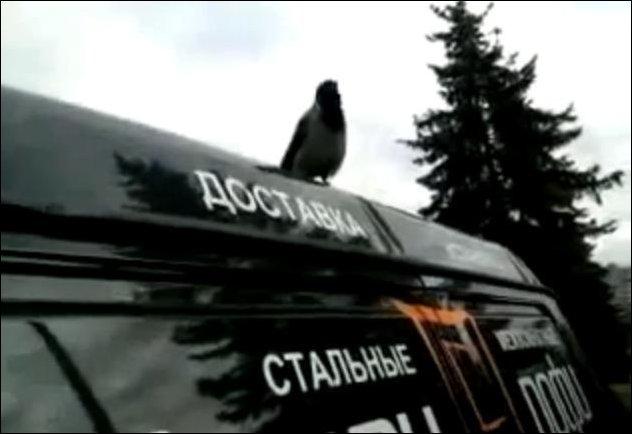 Ворона имитирует крик петуха