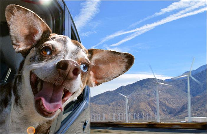Собаки обожающие кататься на машинах