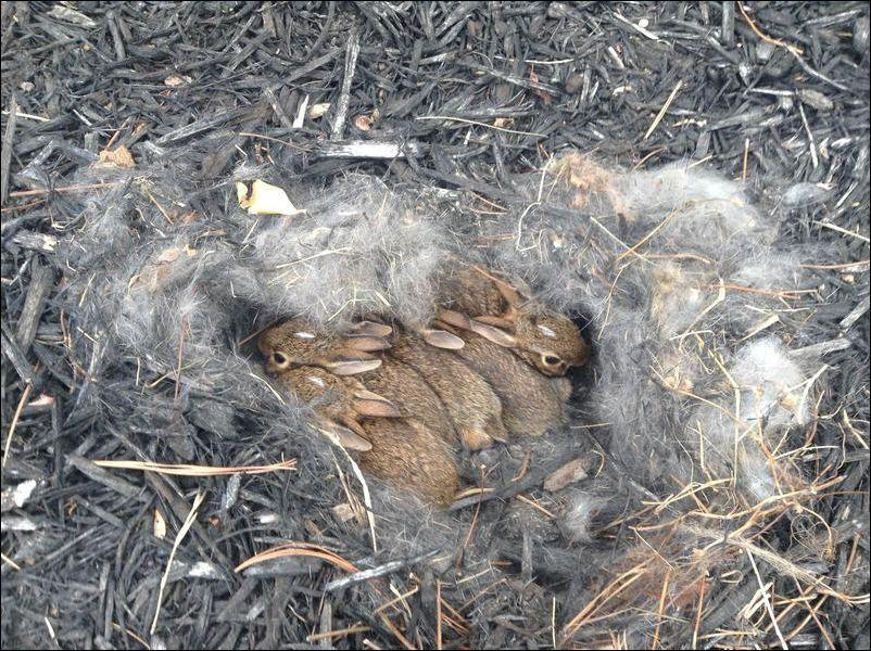 Кролики устроили гнездо
