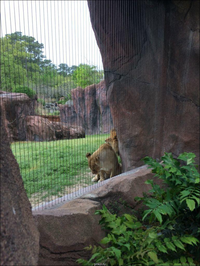 Львица испортила льву полуденную дрему
