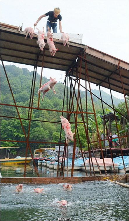 Свинский заплыв