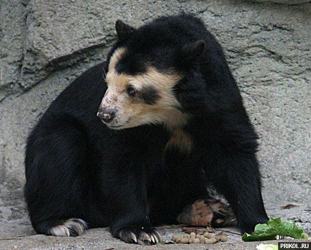 bald-bear-01