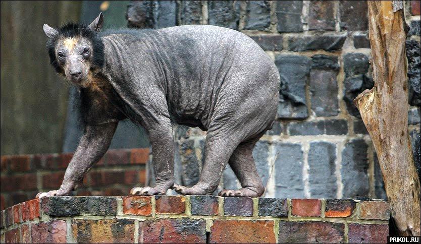 bald-bear-02