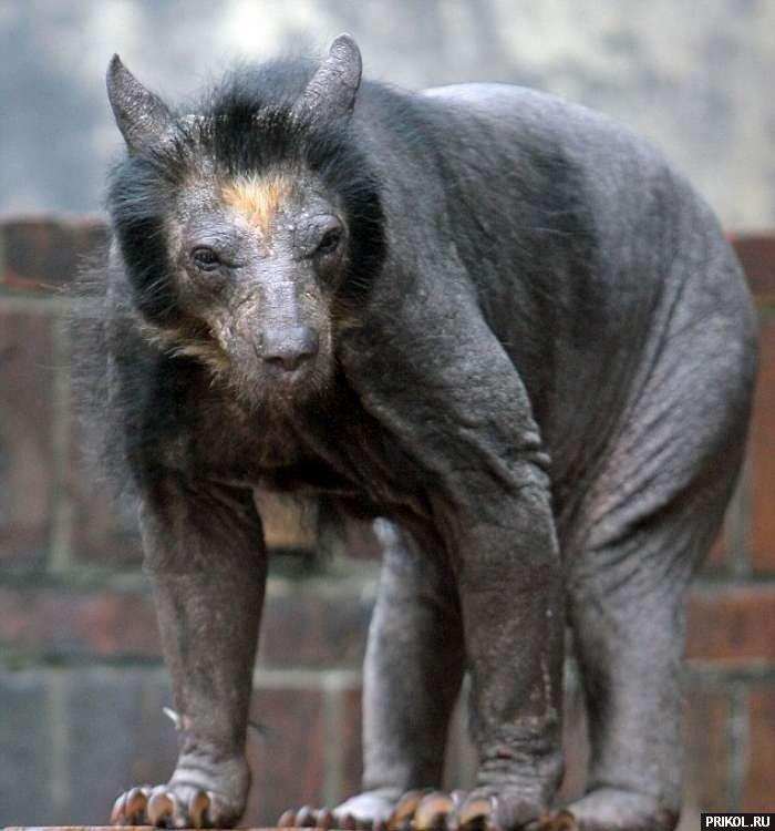 bald-bear-03