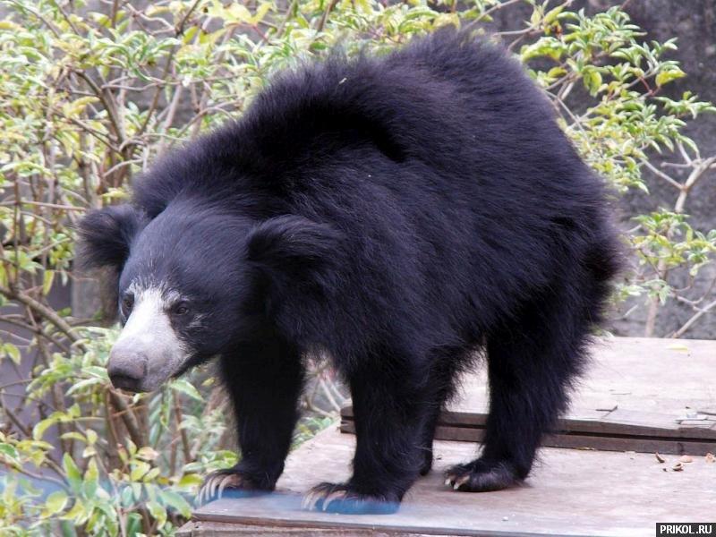 bald-bear-05