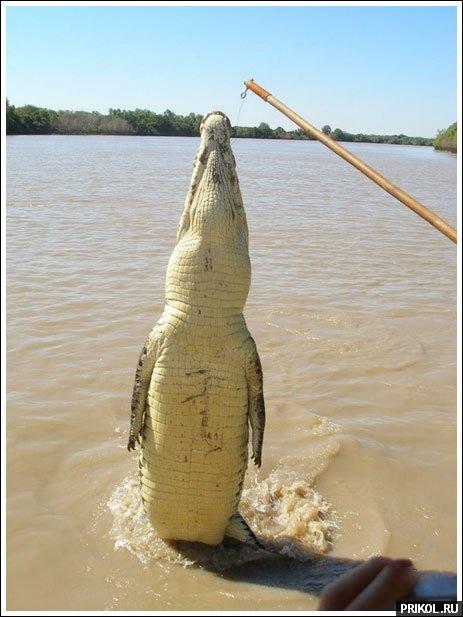 croc-feeding-04
