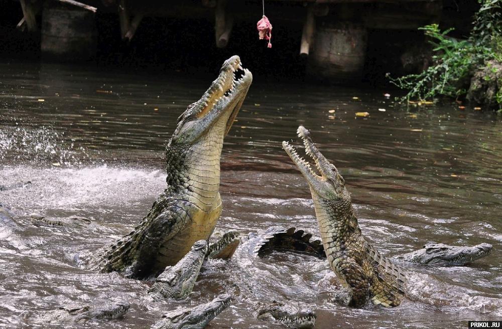 croc-feeding-10