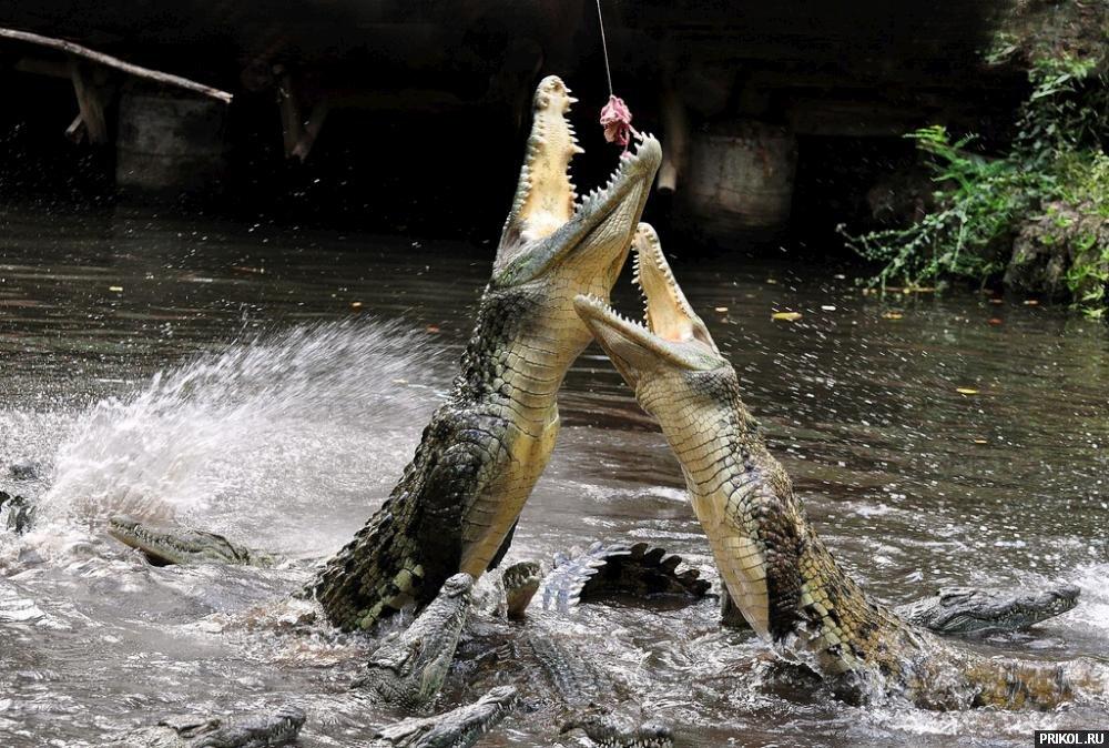 croc-feeding-11