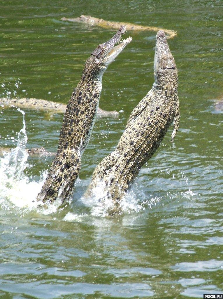 croc-feeding-16