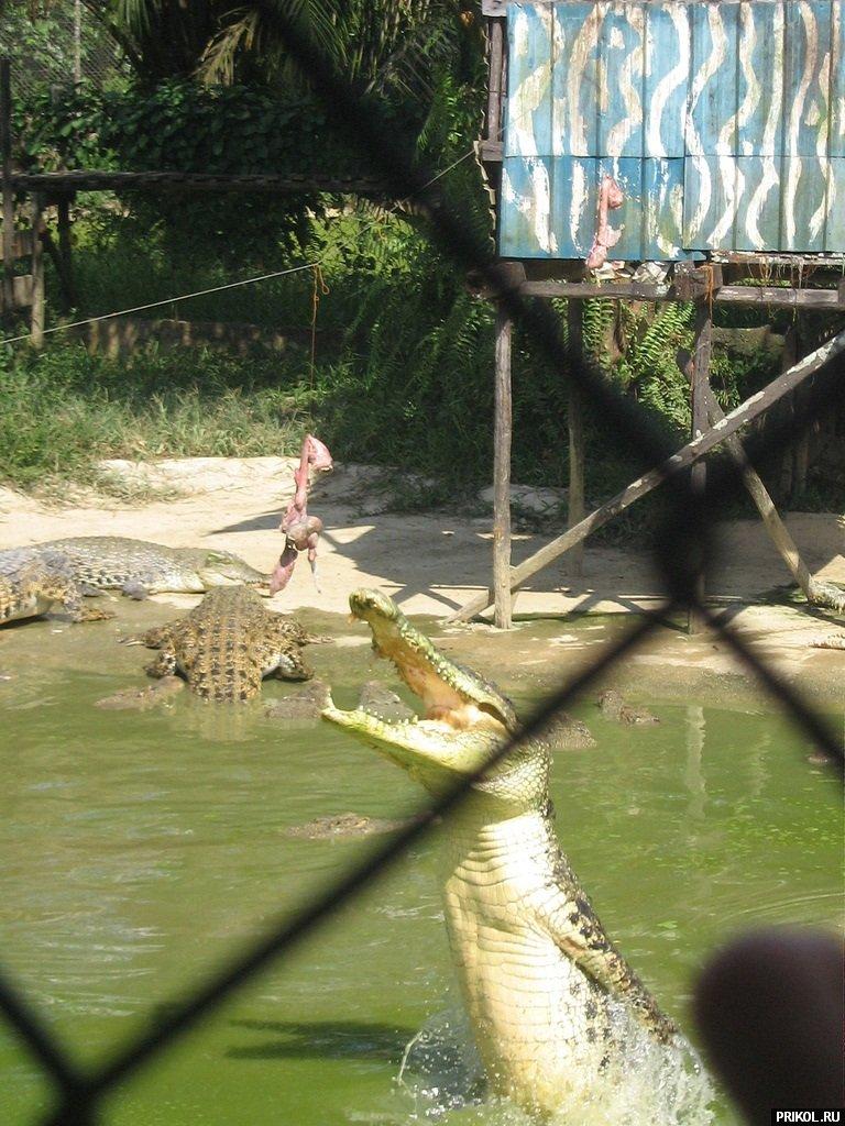 croc-feeding-19