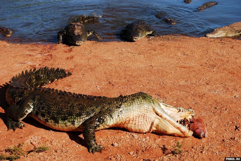 croc-feeding-21