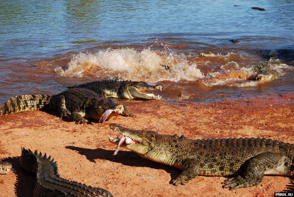 croc-feeding-22